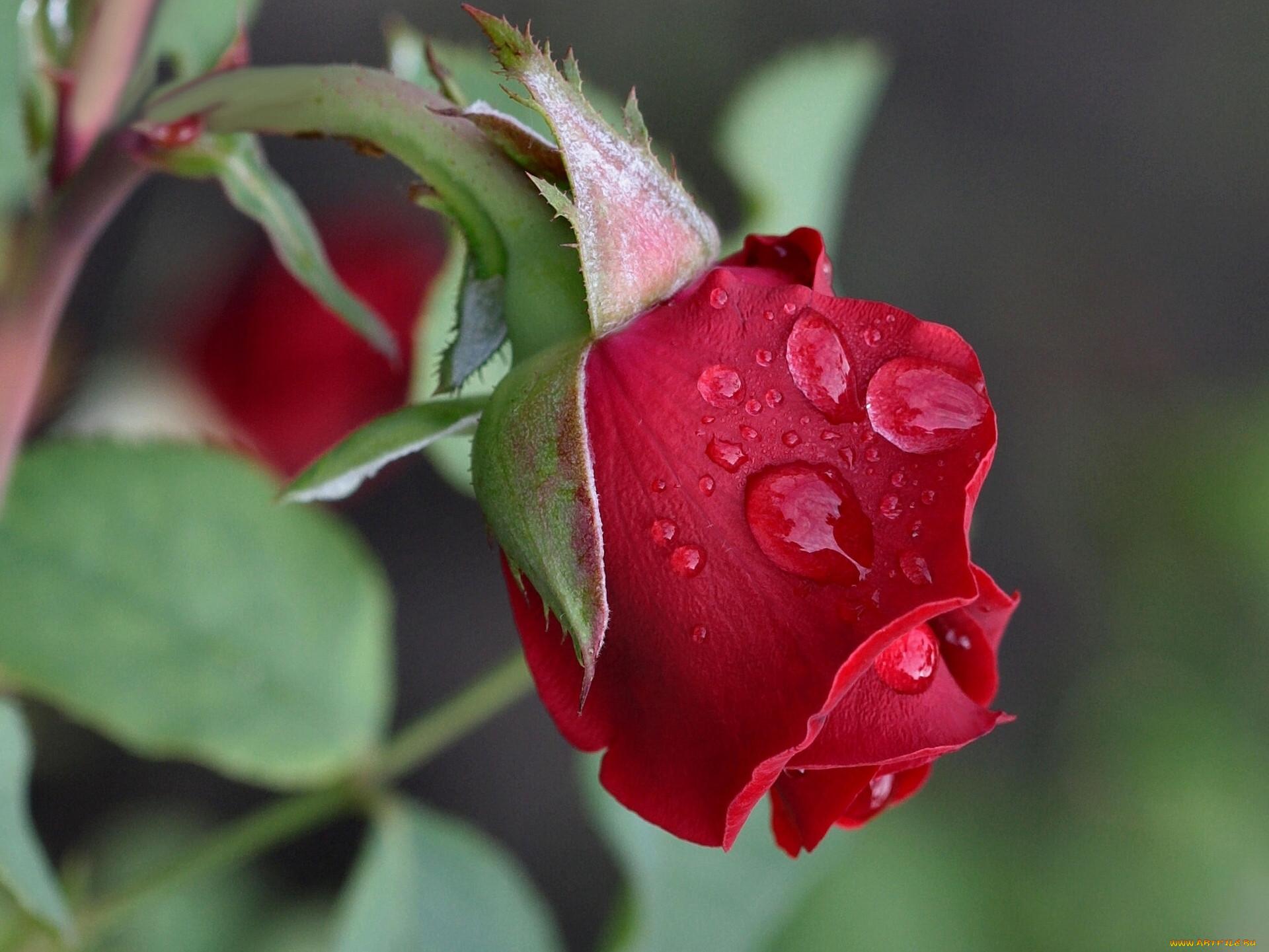 Бутон розы в картинке